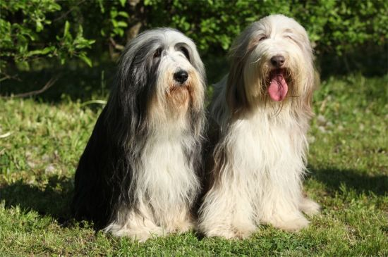 Black and White Bearded Collie picture