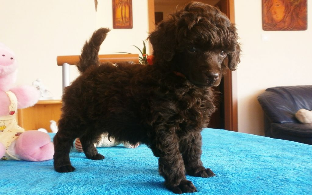 Chocolate Miniature Poodle Puppy picture