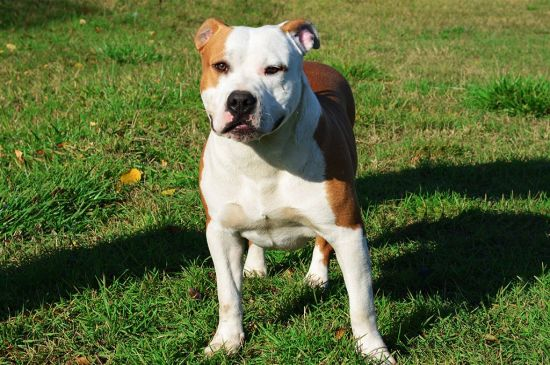 White and Brown American Staffordshire Terrier picture