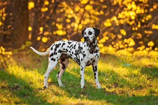 Black Markings Dalmatian picture