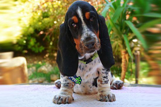 Tricolor Basset Hound Puppy picture