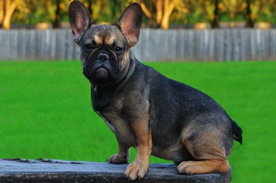 Sable French Bulldog picture