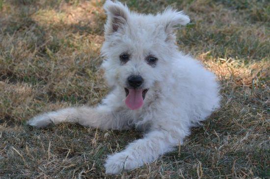 White Pumi Puppy picture