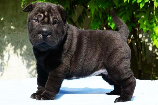 Silver Shar Pei Puppy picture