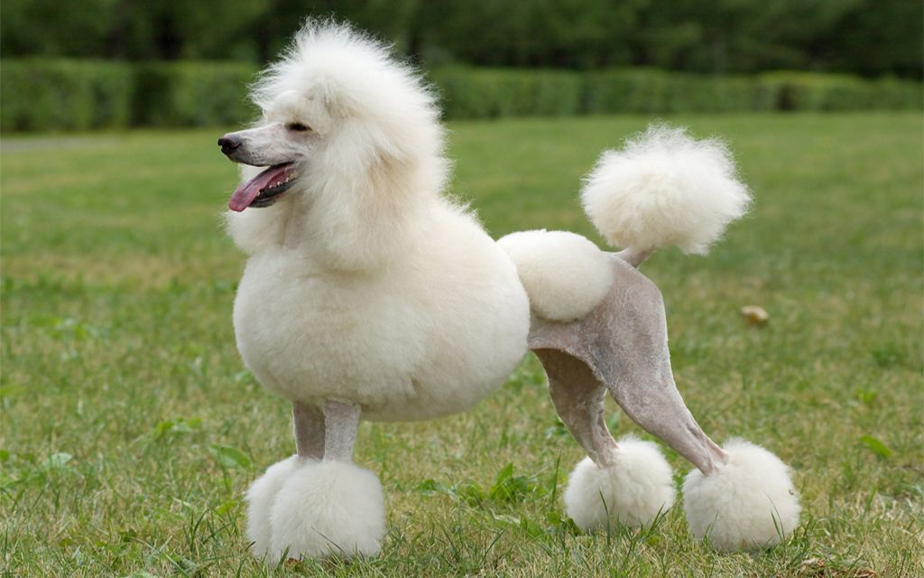 White Standard Poodle picture