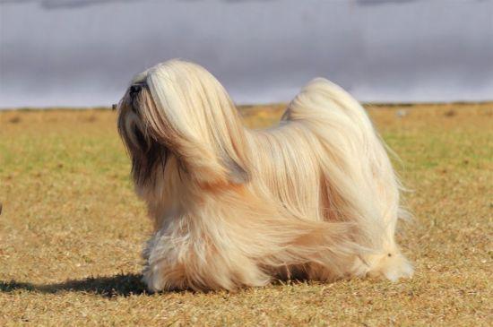 Sable Tibetan Terrier picture