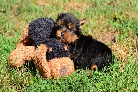 Black and Tan Yorkshire terrier Puppy picture