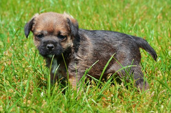 Grizzle Border Terrier Puppy image