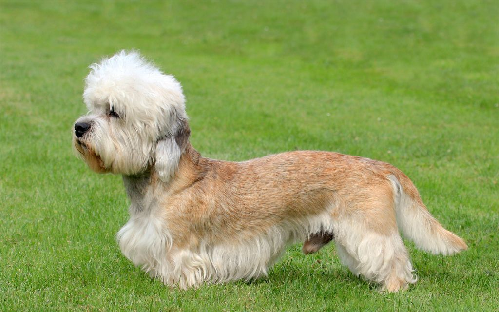 Red and White Dandie Dinmont Terrier image