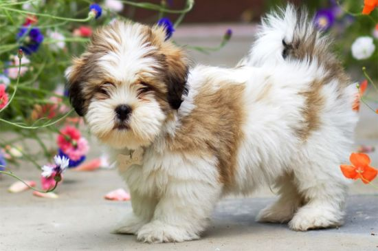 Lhasa Apso Breed Dog Breed Information Pictures