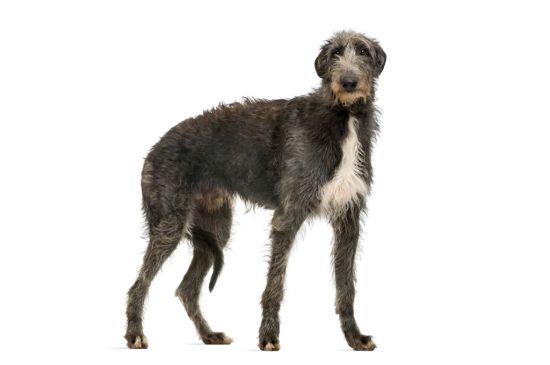 Scottish Deerhound image