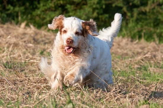 White with markings Clumber Spaniel Puppy image