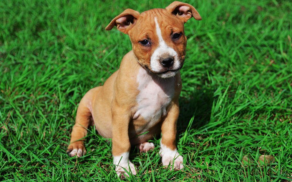 White and Brown American Staffordshire Terrier Puppy picture