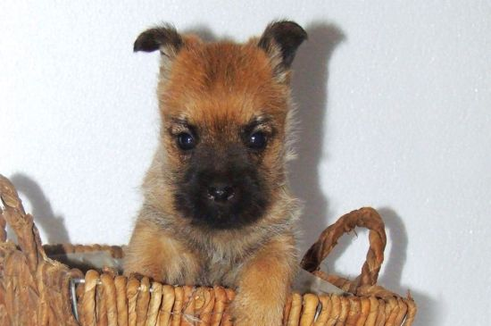 Red Cairn Terrier Puppy image