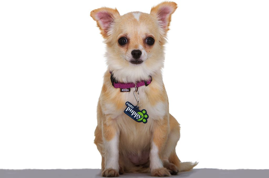 Bicolor Chihuahua image