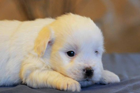White Coton de Tulear Puppy image
