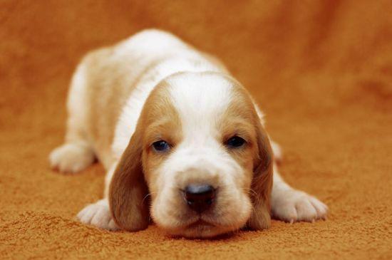 Bicolor Basset Hound Puppy image