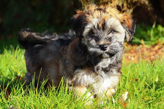 Sable Havanese Puppy picture