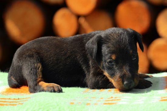 Jagd Terrier Puppy picture