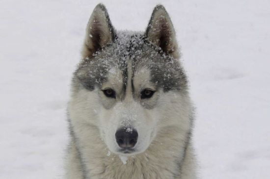 White with Silver markings Siberian Husky picture