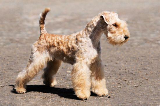 lakeland terrier Puppy image