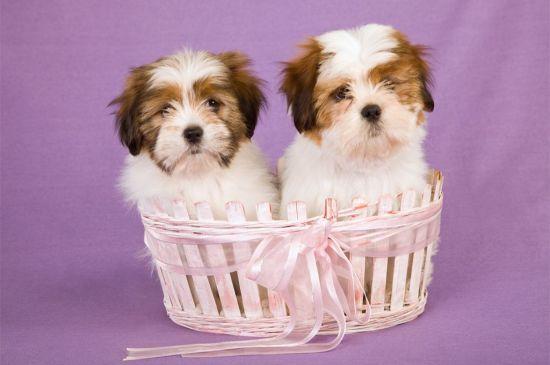 Lhasa Apso Puppies image