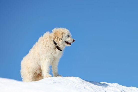South Russian Shepherd image
