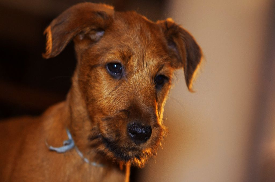 Red Irish terrier Puppy picture
