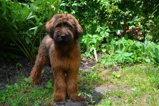 Fawn Briard Puppy image