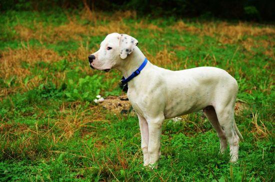 White Dogo Argentino picture