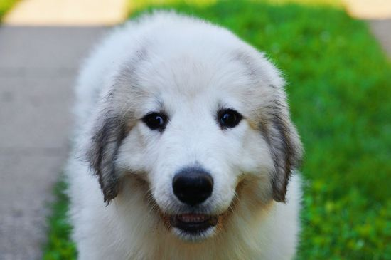Black pied Great Pyrenees Puppy picture