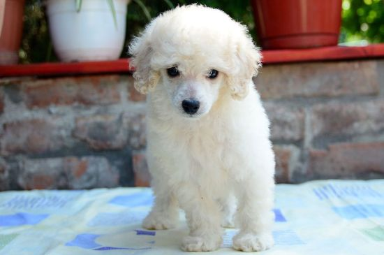 White Miniature Poodle Puppy picture