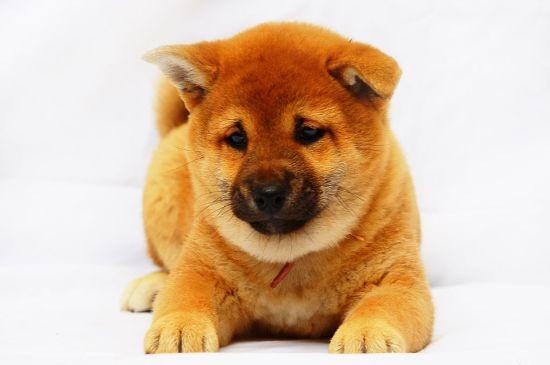 Red Shiba Inu Puppy picture