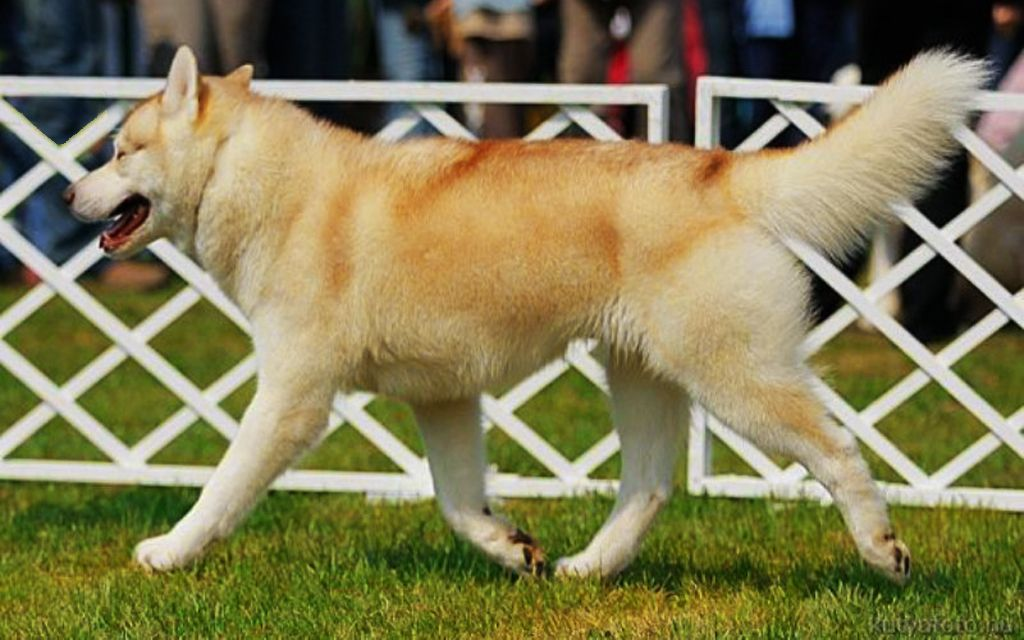 White with Red markings Siberian Husky image