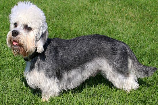 Black and White Dandie Dinmont Terrier picture