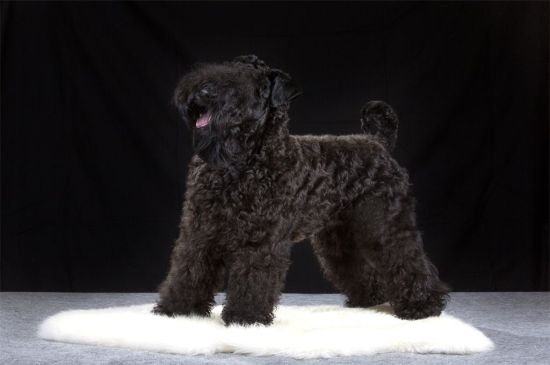 Kerry Blue Terrier picture