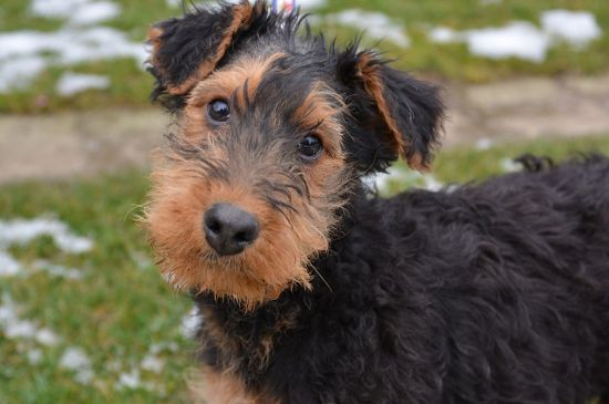 Black and Tan Airedale Terrier Puppy image