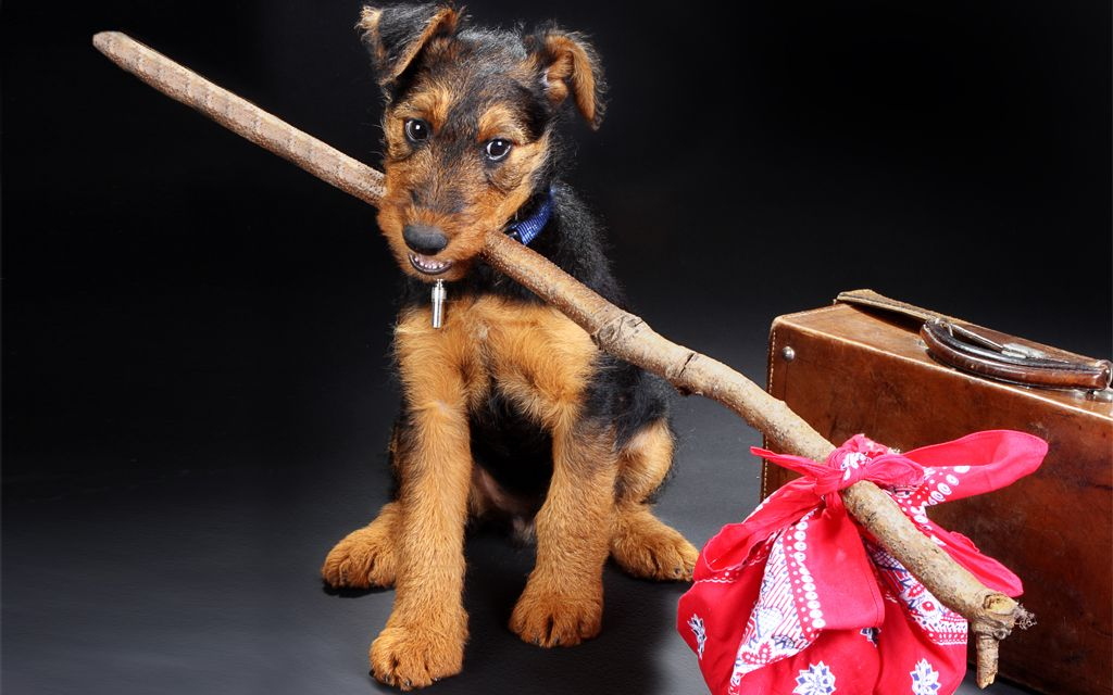 Black and Tan Airedale Terrier Puppy picture