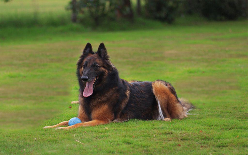Belgian Shepherd Tervueren picture