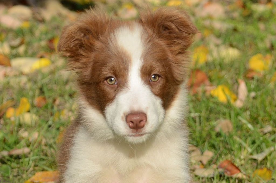 border collie sabre puppy picture