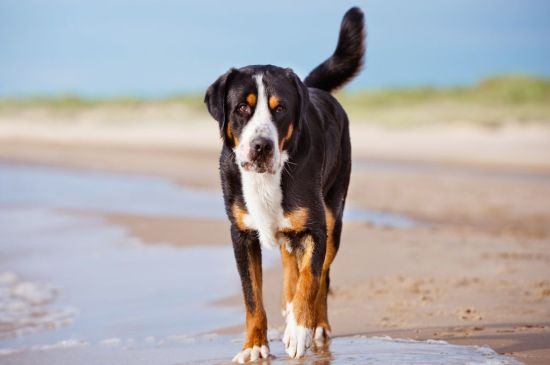 greater swiss mountain dog black and tan picture