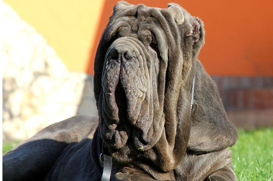 neapolitan mastiff grey picture