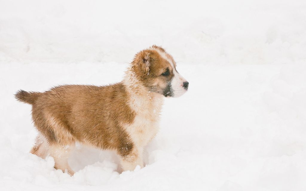 central asian ovtcharka tri-colored puppy picture