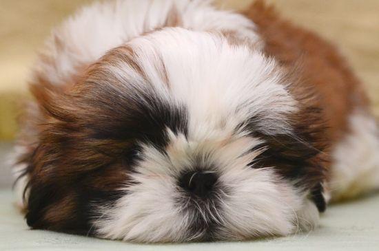 shih-tzu red&white puppy picture