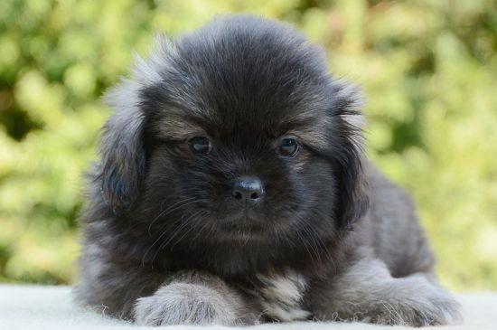 tibetan spaniel sable puppy picture