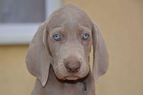 weimaraner silver grey puppy picture