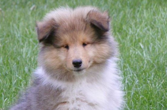 collie sable puppy picture