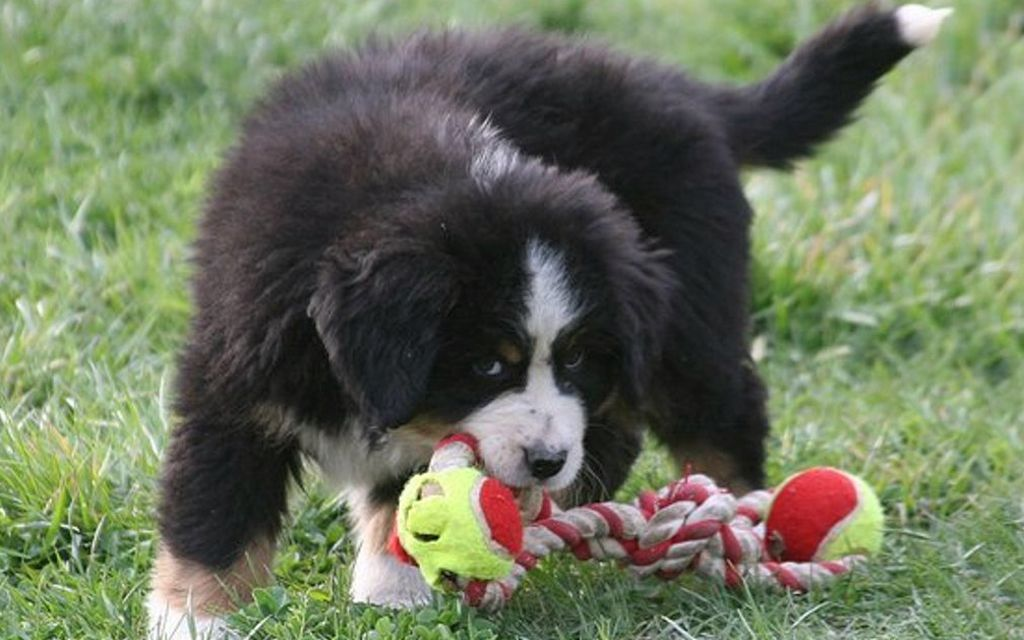 bernese mountain dog black&tan puppy picture