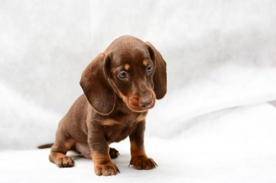 dachshund chocolate & tan puppy picture
