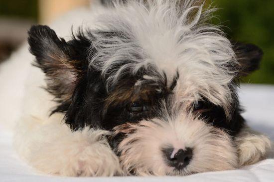 biewer yorkie black&tan puppy picture